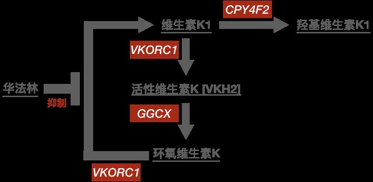 维生素K代谢通路
